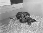 Inside of Stroop's Snake Farm, view of a group of snakes of different sizes. Bowmans Crossing, Va. by William Garber
