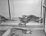 Group of small alligators inside of Stroop's Snake Farm. Bowmans Crossing, Va. by William Garber