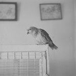 Bird perched atop a cage inside of Stroop's Snake Farm. Bowmans Crossing, Va. by William Garber
