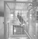 Bird inside of its cage in Stroop's Snake Farm. Bowmans Crossing, Va. by William Garber
