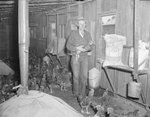 A man standing in a room full of chickens, and holding a chicken, at the Mt. Jackson Mill.
