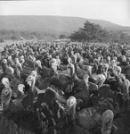 A large group of turkeys. by William Garber