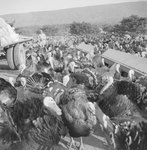 A large group of turkeys, with a man and a large truck on the far left.