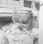 A chicken perched on top of a large sack, looking in the opposite direction.
