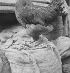 A chicken, perched on top of a large sack, the image cutting off just below its head.