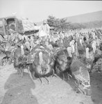 A man feeding a large group of turkeys.