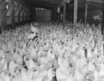 A very large group of turkeys inside a poultry house.