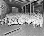 A large group of turkeys inside of a poultry house, some feeding.