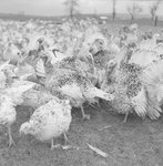 A large group of turkeys in a field outdoors.