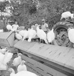 Group of turkeys standing on and around a feeding trough, with two men and a large tractor in the background.