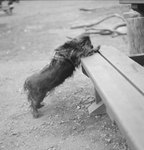 A dog with his front paws on a wooden bench at a farm. by William Garber