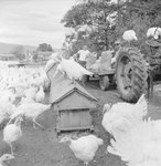 Group of turkeys standing on and around a feeding trough, with some men and a large tractor on the right. by William Garber
