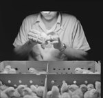 Same man as in handling a baby chick, but with a view of the other baby chicks inside of the crate. by William Garber