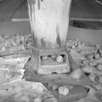 Baby chicks inside of a feeder. by William Garber