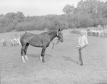 Side view of a horse with a ribbon attached to its bridle, and a man standing close by