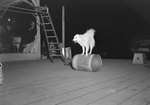 A large dog balancing/running on a barrel, making it roll