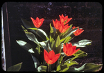 """Firefly"" red tulips by James Madison University"