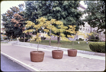 Trees on South Court Square by James Madison University