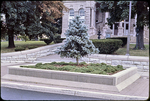 Blue spruce on South Court Square by James Madison University