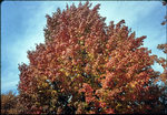 Red tree near Old Stone Church, Fort Defiance by James Madison University