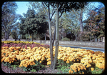 Marigold blooming on W&M campus by James Madison University